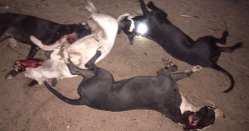 Pitbull dogs shot dead after fiercely attacking house members in Ajah Lagos