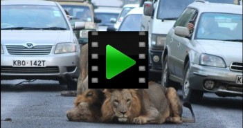 Unbelievable , Lion on the streets of Kenya